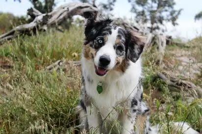 Alguns cães inclinam a cabeça com palavras que lhe agradam: passear, comer, parque, entre outros. (Foto: Reprodução/Pinterest)